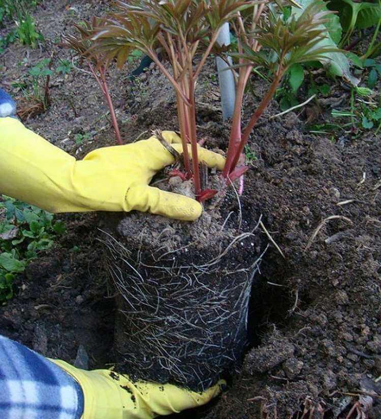 посадка растений с закрытой корневой системой